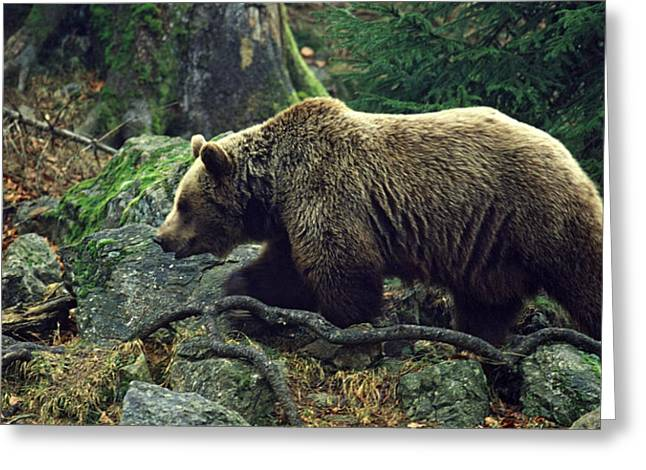 Wild Life Photographs Greeting Cards - Brown bear Greeting Card by Unknown