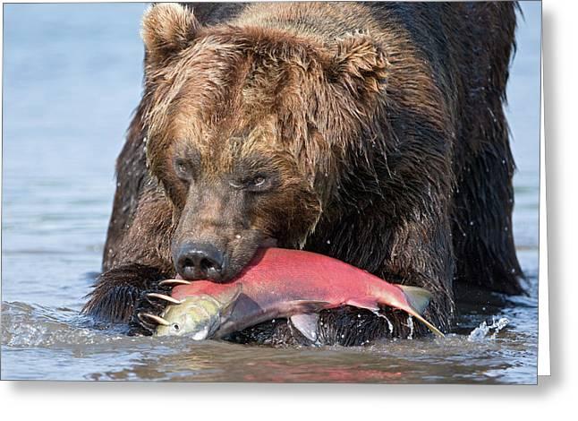Russian Born Greeting Cards - Brown Bear Ursus Arctos Feeding Greeting Card by Sergey Gorshkov