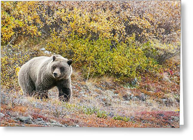 Three Bears Greeting Cards - Brown Bear Ursus Arctos Walks Along In Greeting Card by Cathy Hart