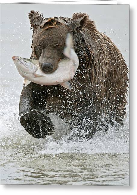 Brown Bear With Salmon Catch Greeting Card by Gary Langley