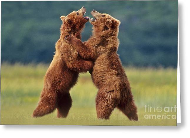 Oppression Greeting Cards - Brown Bears Sparring Greeting Card by Frans Lanting MINT Images