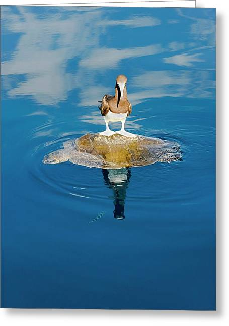 Brown Booby And Marine Turtle Greeting Card by Christopher Swann
