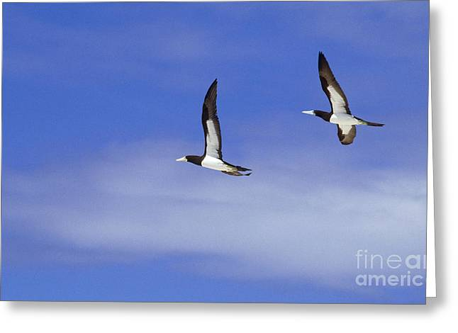Brown Booby Greeting Cards - Brown Booby Greeting Card by James L. Amos
