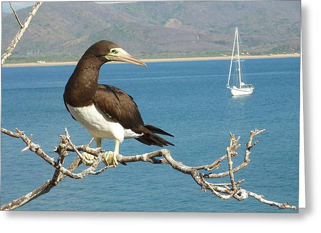 Brown Booby Greeting Cards - Brown Booby Greeting Card by Juanita Witkop