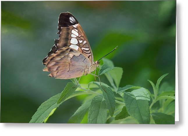 Brown Butterfly Greeting Card by Kim Hojnacki
