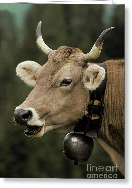 Cowbell Greeting Cards - Brown Cow With A Bell Around Its Neck Greeting Card by Ron Sanford