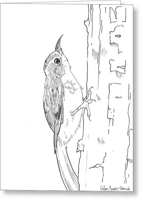 Bird On Tree Drawings Greeting Cards - Brown Creeper Greeting Card by Callan Rogers-Grazado