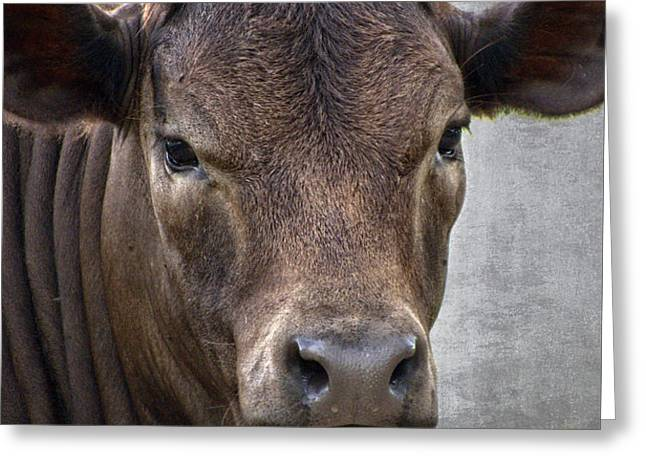 Brown Eyed Boy - Calf Portrait Greeting Card by Ella Kaye Dickey
