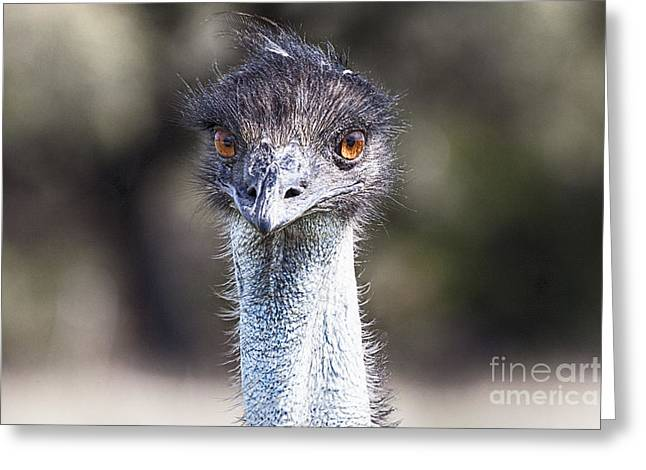 Emu Greeting Cards - Brown-Eyed Girl V2 Greeting Card by Douglas Barnard