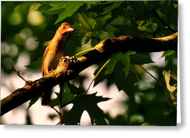 Photos Of Birds Greeting Cards - Brown Finch Greeting Card by Chris Flees