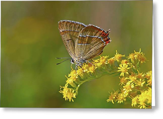 Eating Entomology Greeting Cards - Brown hairstreak butterfly Greeting Card by Science Photo Library