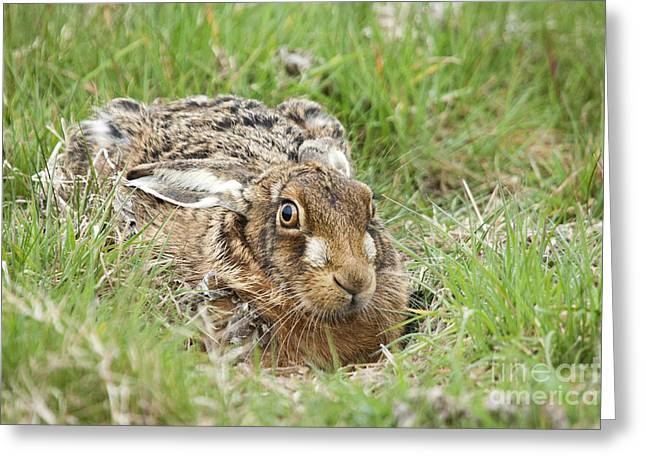 March Hare Photographs Greeting Cards - Brown Hare Greeting Card by Philip Pound