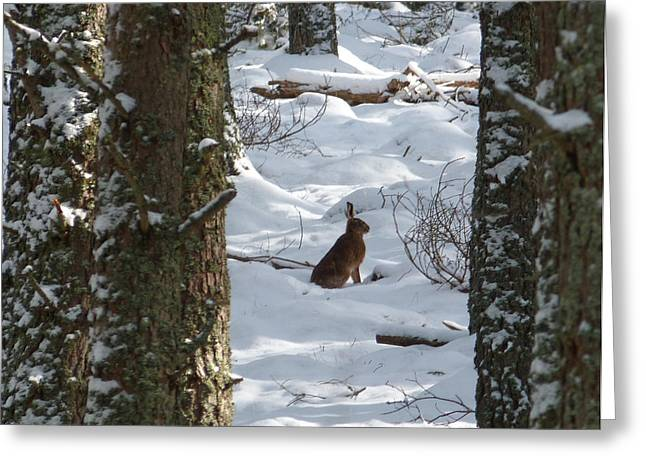 March Hare Greeting Cards - Brown Hare - Snow Wood Greeting Card by Phil Banks