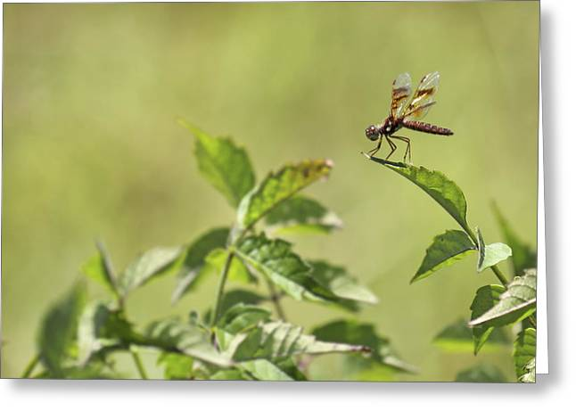Brown Hawker Dragonfly Greeting Card by Jason Politte