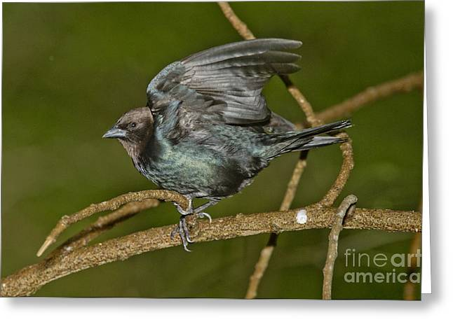 Cowbird Greeting Cards - Brown-headed Cowbird Greeting Card by Anthony Mercieca