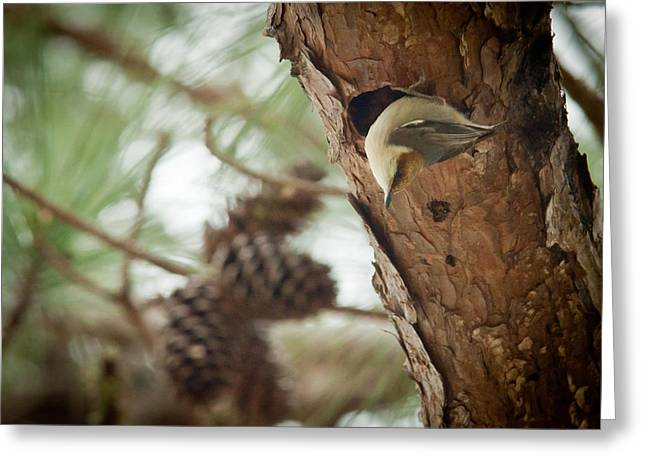 Bird On Tree Greeting Cards - Brown Headed Nuthatch Greeting Card by Linda Unger