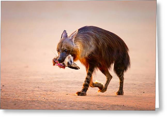 Eat Photographs Greeting Cards - Brown hyena with bat-eared fox in jaws Greeting Card by Johan Swanepoel