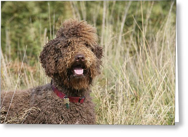 Labradoodle Greeting Cards - Brown Labradoodle In Field Greeting Card by John Daniels