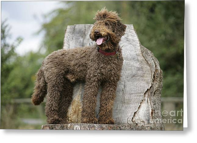 Labradoodle Greeting Cards - Brown Labradoodle Standing On Tree Stump Greeting Card by John Daniels