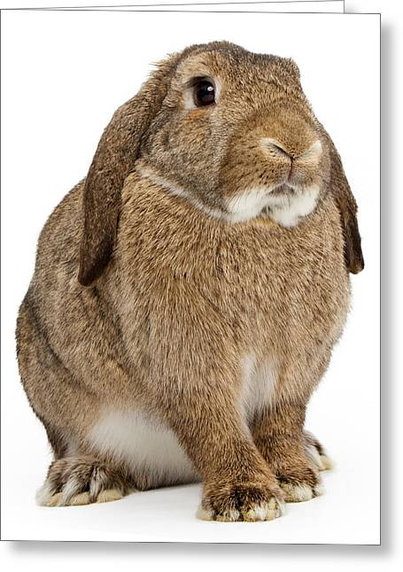 Brown Lop-earred Rabbit Isolated On White Greeting Card by Susan Schmitz