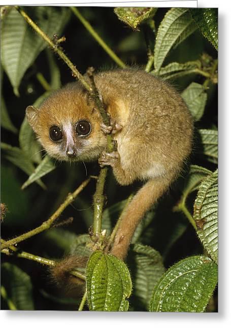 Lemur Sp Greeting Cards - Brown Mouse Lemur  Madagascar Greeting Card by Konrad Wothe