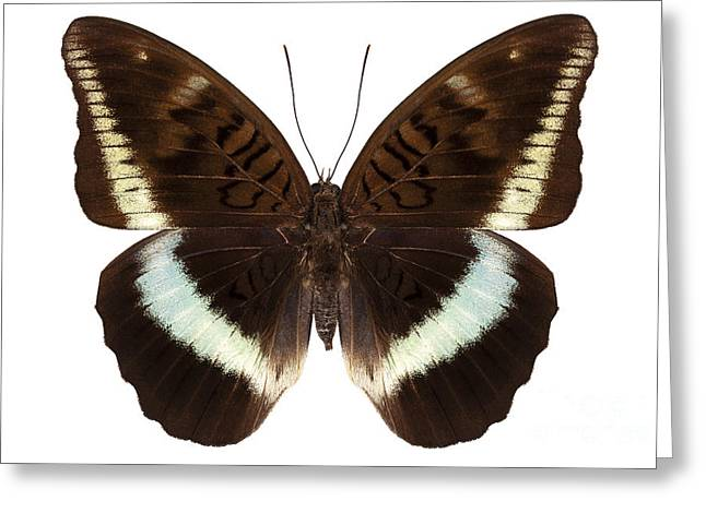 Nymphalidae Greeting Cards - brown Nymphalidae butterfly Greeting Card by Pablo Romero