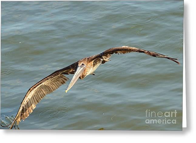 Cedar Key Greeting Cards - Brown Pelican Banks with Spread Wings a Water Drag Greeting Card by Wayne Nielsen NielsenImages