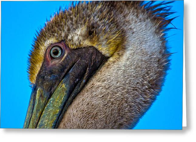 Head-shot Greeting Cards - Brown Pelican Greeting Card by Betsy C  Knapp