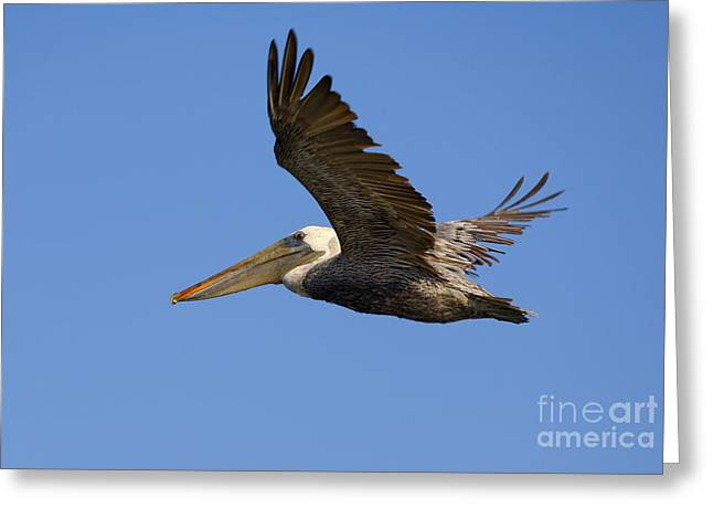 Brown Pelicans Greeting Cards - Brown Pelican Flight Greeting Card by Mike  Dawson