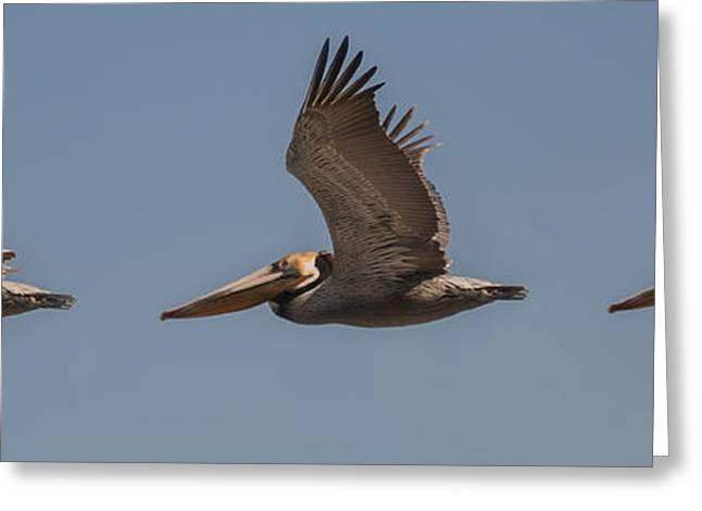 Seabirds Greeting Cards - Brown Pelican Flying Panorama 2 Greeting Card by Lee Kirchhevel