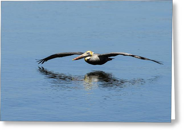 Pelicaniformes Greeting Cards - Brown Pelican Gliding over Open Water Greeting Card by Steve Samples