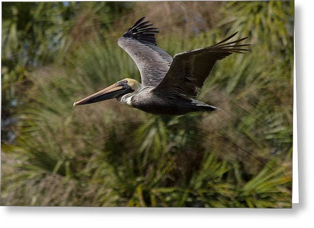 Charming Cottage Greeting Cards - Brown Pelican - In Flight Greeting Card by Kim Hojnacki