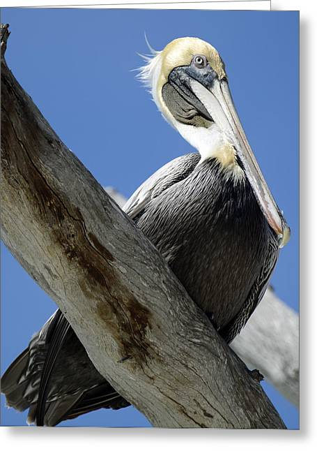 Birdseye Greeting Cards - Brown Pelican in Thought Greeting Card by Bruce Gourley