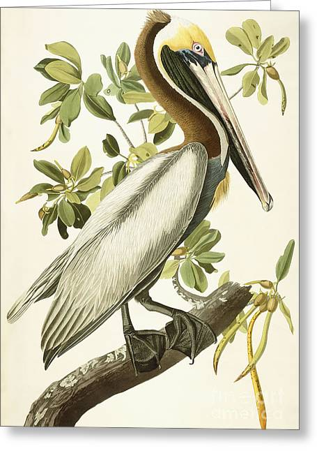 Prints Drawings Greeting Cards - Brown Pelican Greeting Card by John James Audubon
