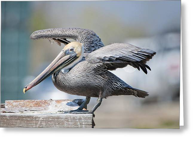 Pelican Landing Greeting Cards - Brown Pelican Landing Greeting Card by Bonnie Barry