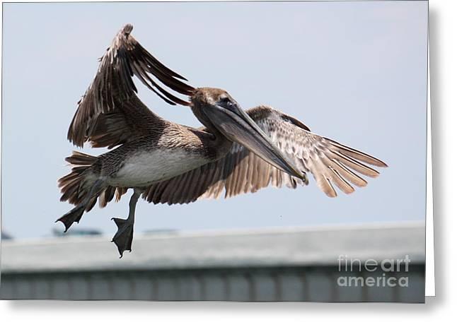 Pelicans Flying Greeting Cards - Brown Pelican Landing Greeting Card by Carol Groenen