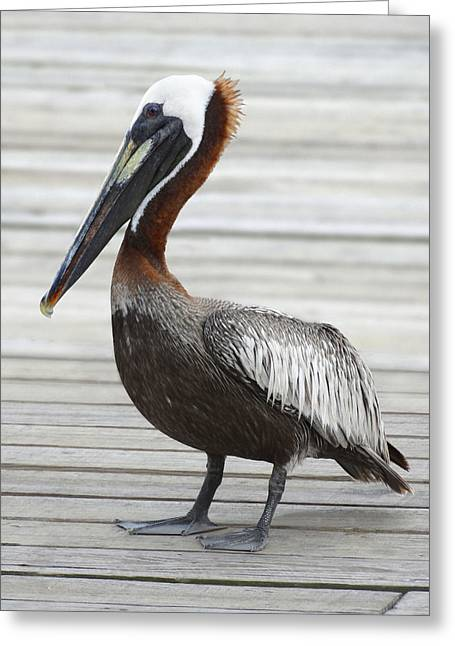 Large Birds Greeting Cards - Brown Pelican Greeting Card by Mike McGlothlen