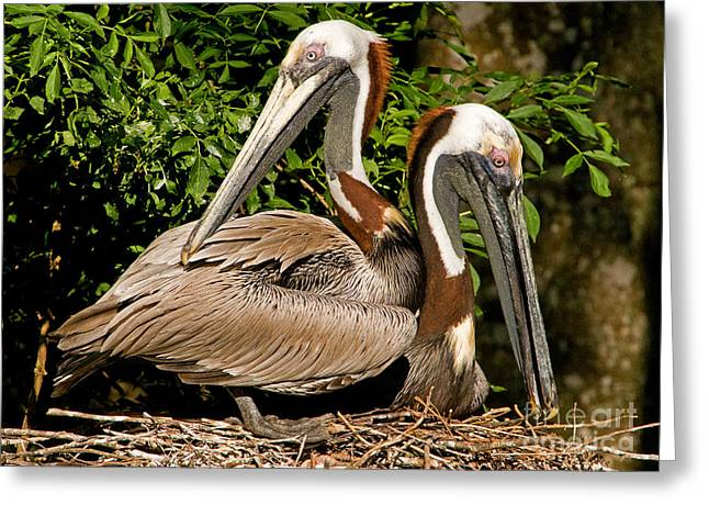 Duval County Greeting Cards - Brown Pelican Greeting Card by Millard H. Sharp