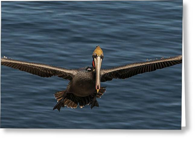 Seabirds Greeting Cards - Brown Pelican Panorama Greeting Card by Lee Kirchhevel