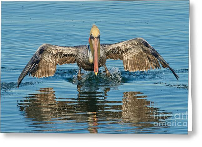 Flying Animal Greeting Cards - Brown Pelican Taking Off Greeting Card by Anthony Mercieca