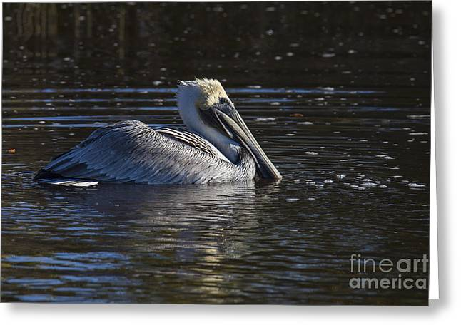 Shore Bird Print Greeting Cards - Brown Pelican Greeting Card by Twenty Two North Photography