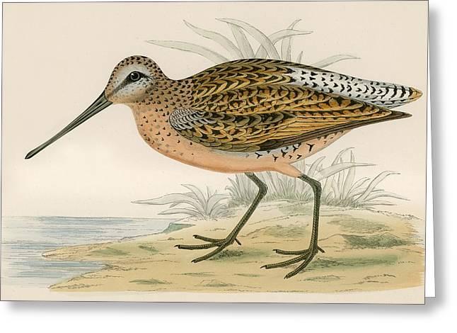 Hunting Bird Greeting Cards - Brown Snipe Greeting Card by Beverley R. Morris