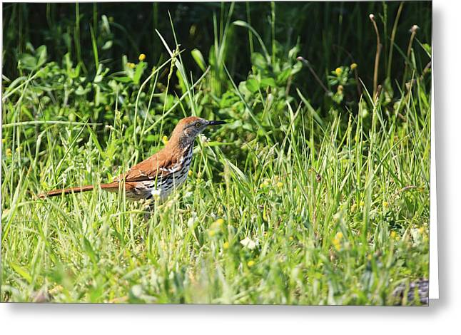 Lake Wylie Greeting Cards - Brown Thrasher 3 Greeting Card by Gary Hall