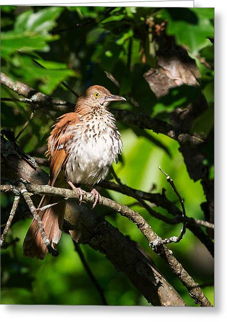 Brown Thrasher Greeting Card by Bill  Wakeley