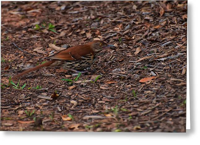 Photos Of Birds Greeting Cards - Brown Thrasher Eating A Cricket Greeting Card by Chris Flees