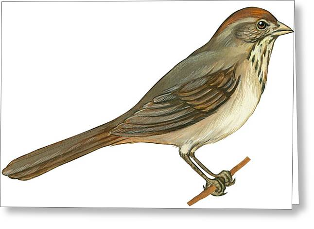 White Background Drawings Greeting Cards - Brown towhee Greeting Card by Anonymous
