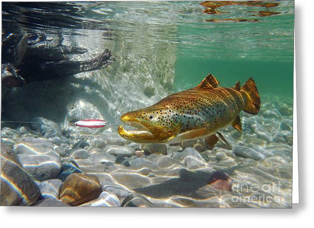 Brown Trout Greeting Cards - Brown Trout and Dardevle Greeting Card by Paul Buggia