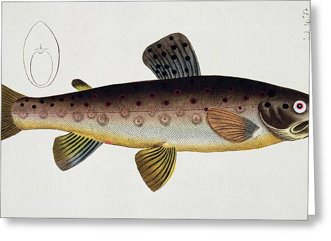 Angling Drawings Greeting Cards - Brown Trout Greeting Card by Andreas Ludwig Kruger