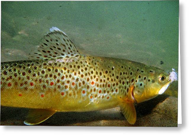 Brown Trout Greeting Cards - Brown Trout on Caddis Greeting Card by Jason Standiford