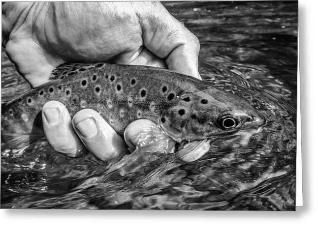 Brown Trout Greeting Cards - Brown Trout Release Greeting Card by Darrin Doss